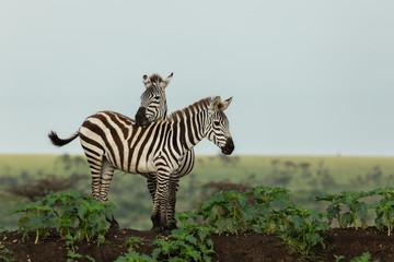 Canvas Prints Zebra zebra on the savannah