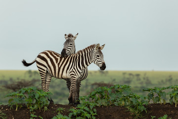 Aluminium Prints Zebra zebra on the savannah