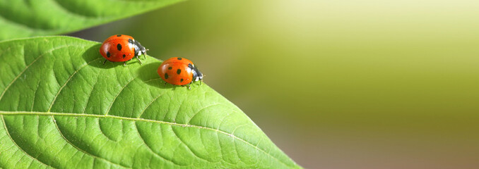 Spoed Fotobehang Macrofotografie Macro red two Ladybug on leaf. Nature horizontal background.