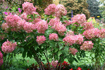 Papiers peints Hortensia Bush of a hydrangea paniculata during flowering are a garden ornament.