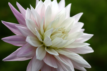 Fotobehang Dahlia Single fresh flower a dahlia with petals of white and gently lilac colors on a green background.
