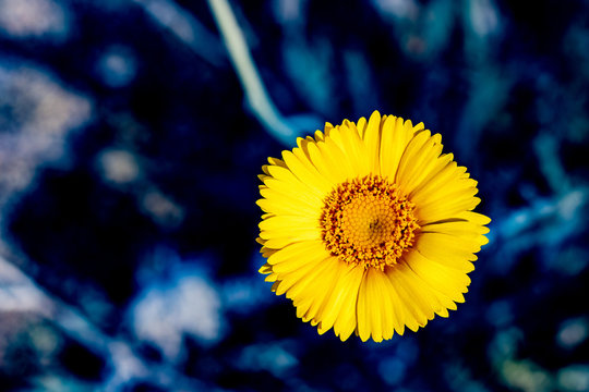yellow flower on blue background