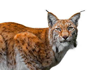 Eurasian lynx (Lynx lynx) close up portrait against white background