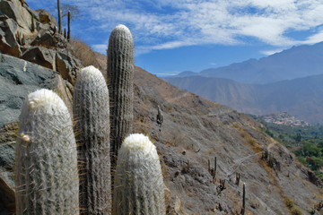 Cactus (Espostoa melanostele), specimens of cactus in the foreground along with the Andean landscape. Lima-Peru