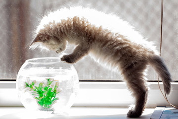 curious red kitten with goldfish in a fishbowl