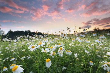 field with many chamomile flowers at dawn