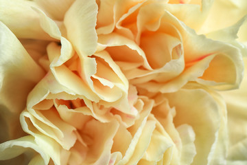 Closeup view of beautiful blooming carnation as background. Floral decor