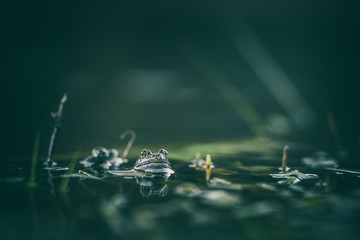 Fotorollo Frosch frog on green pond