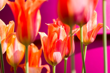 Poster Pink Tulips, the biggest symbol of beauty in netherlands.