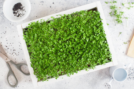 basil microgreens in the white wooden box. Sprouting Microgreens. Seed Germination at home. Vegan and healthy eating concept. Sprouted basil Seeds, Micro greens. Growing sprouts.