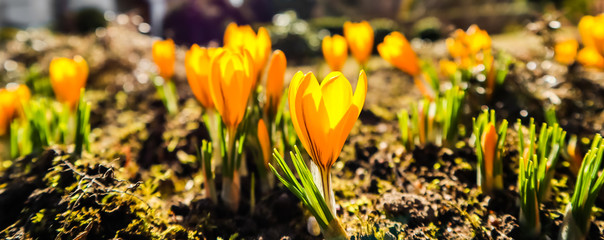 Spring is coming. The first yellow crocuses in my garden on a sunny day