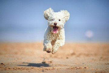 Miniature Poodle Dog Jumping in midair on the Beach in hero action image