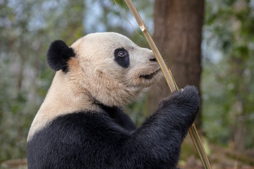 Fotomurales - Panda Side Portrait, Bear Munching/Eating Bamboo in Sichuan Province, China. Beautiful Fluffy Adult Panda with happy expression on its face. Natural Forest, Panda Enjoying Lunch