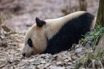 Fotomurales - Sleepy Panda Bear resting in the forest, China Wildlife. Bifengxia nature reserve, Sichuan Province. Cute Lazy Baby Panda Sleeping on the ground, Enjoying an afternoon nap with eyes closed.