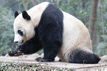 Poster Panda American Born Panda, Bei Bei, Bifengxia, China