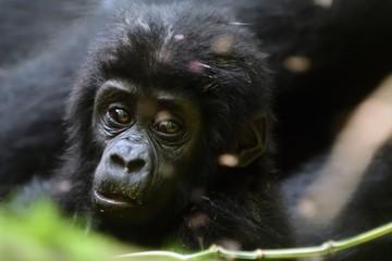 Mountain gorilla, Bwindi National Park, Uganda