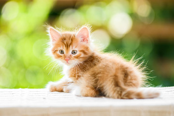 adorable playful red orange fluffy kitten on sunny day