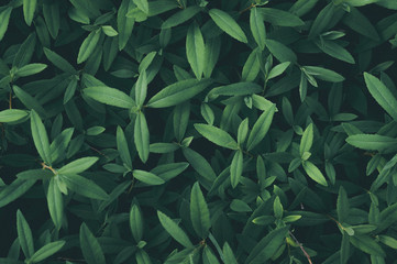 Background of fresh green leaves close-up