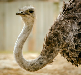 Poster Struisvogel Close-Up Of Ostrich On Field