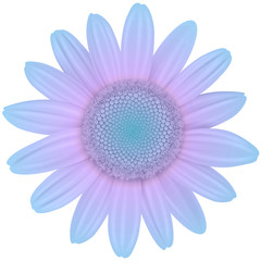 Daisy flower isolated purple blue