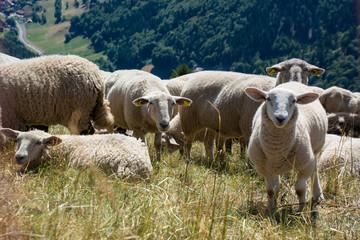 Schafherde am Belchen im Schwarzwald / Deutschland