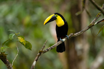 Spoed Fotobehang Toekan Choco toucan (Ramphastos brevis) is a near-passerine bird in the family Ramphastidae found in humid lowland and foothill forests on the Pacific slope of Colombia and Ecuador.