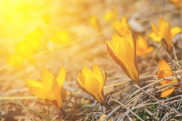 Photo sur cadre textile Crocus closeup heap of yellow crocus flowers on a hill slope in a light of sun, spring outdoor background