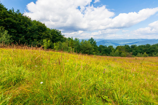 mountain meadow. beech forest on the edge of a hill. beautiful summer landscape with fluffy clouds on a blue sky. wild herbs among the grass. ridge rolling in to the distance