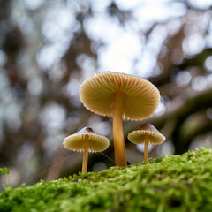 Bonnets Mushroom (Mycena) on a dead tree trunk in the forest