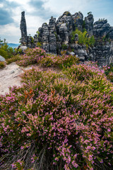 Purple heathers near Schrammsteine sandstone towers, Saxon Switzerland national park, Bad Schandau, Germany, Europe