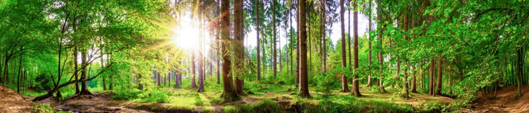 Beautiful forest panorama with large trees and bright sun