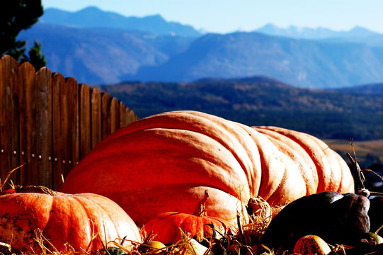 Large Pumpkins By Fence