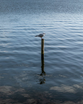 Gull on a post