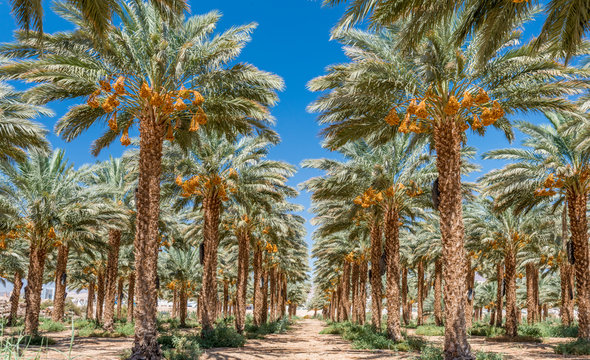 Plantation of ripening date palm, agriculture industry in the Middle East and Mediterranean regions