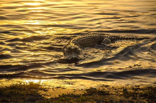 CLOSE-UP OF alligator SWIMMING IN SEA