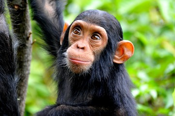 High Angle View Of Chimpanzee In Forest