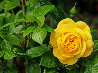 Gelbe Edelrose im Garten