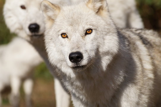 Close-Up Portrait Of Wolves Standing Outdoors