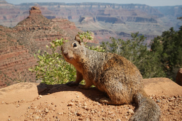 Squirrel On Rock Against Mountains Grand Canyon