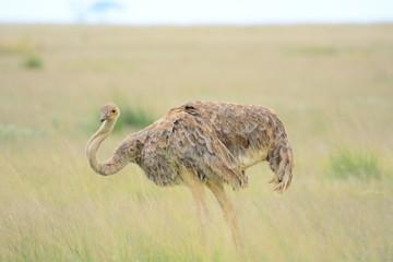 Zelfklevend Fotobehang Struisvogel ostrich ON GRASSY FIELD
