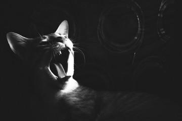 Obraz Close-Up Of Cat yawning - fototapety do salonu