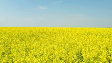 Wall Mural - blooming rapeseed field at the sunny day