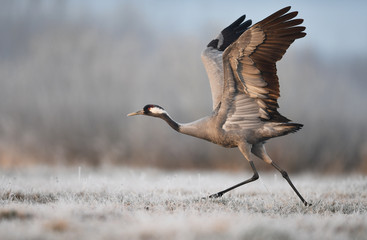 Stores à enrouleur Oiseau Common crane bird (Grus grus)