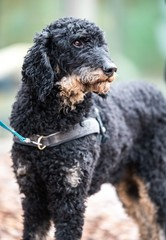Closeup shot of a Spanish water dog on a leash looking afar