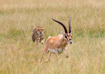 Foto auf Acrylglas Antilope Cheetah Chasing Impala On Grassy Field