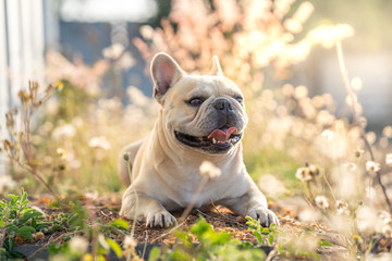 Papiers peints Bouledogue français Cute french bulldog lying at grass field.
