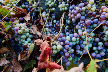 Close-Up Of Grapes Fototapete
