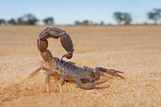 Granulated thick-tailed scorpion (Parabuthus granulatus), Kalahari desert, South Africa .