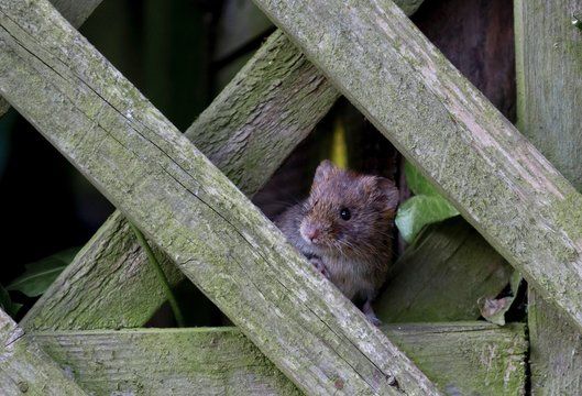 Close-up of vole by wooden fence
