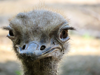 Zelfklevend Fotobehang Struisvogel Close-up portrait of an ostrich
